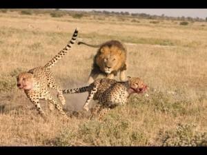 """""""Si le guépard est si rapide, c'est pour continuer à chasser des gazelles et à échapper au lion"""""""