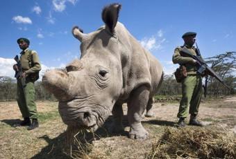 Braconnage au Kenya : le dernier rhinocéros blanc en danger