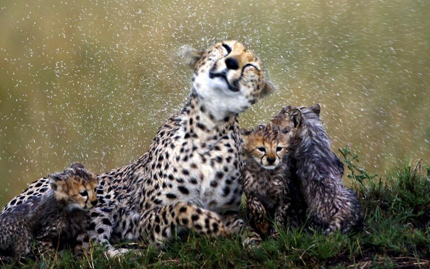 """""""La pluie mouille la peau du léopard mais n'en lave pas les tâches"""" / Famille de guépards, par Paul Goldstein / Exodus / Rex Features"""
