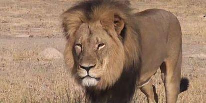 Zimbabwe : Le pays restreint la chasse après la mort du lion Cécil