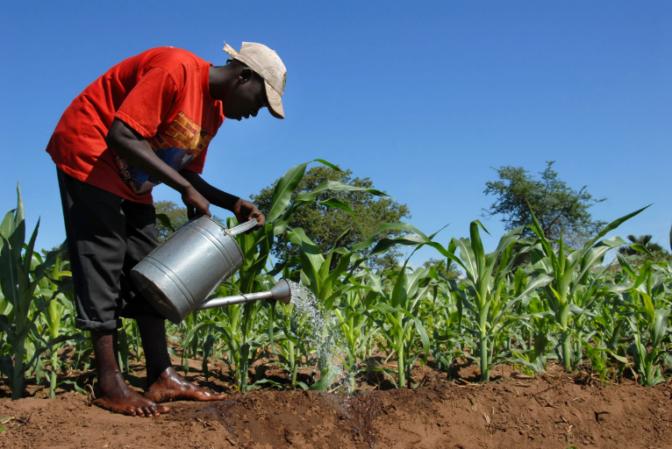 L'atrazine, un herbicide toxique et interdit exporté par la France vers l'Afrique