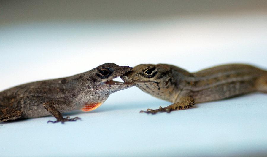 La querelle des deux lézards
