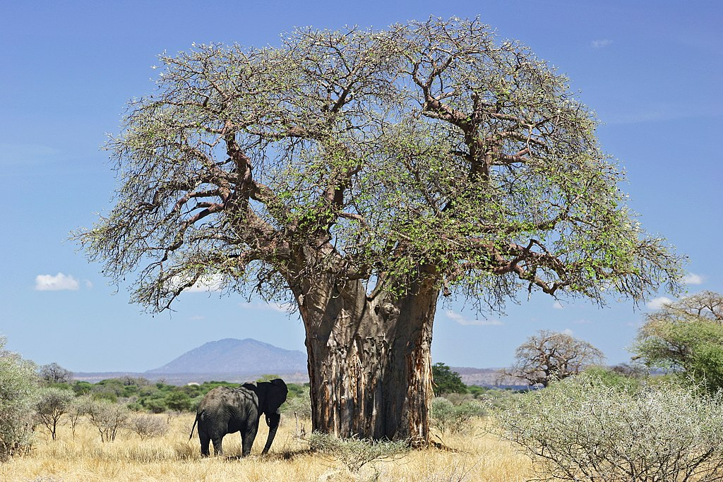 Pourquoi les plus grands et plus anciens baobabs africains disparaissent-ils ?