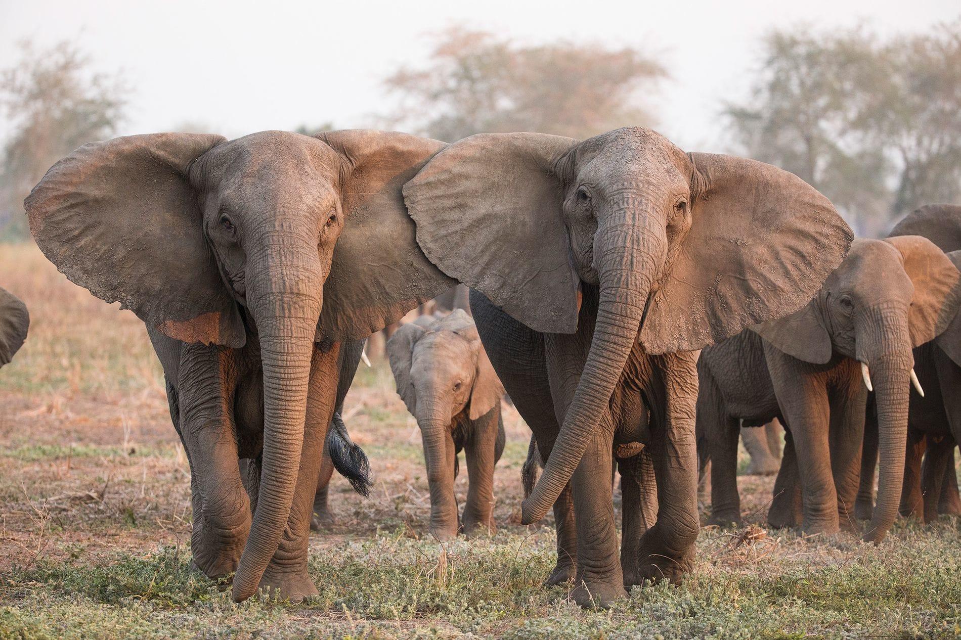 A cause du braconnage, de plus en plus d'éléphants naissent sans défenses