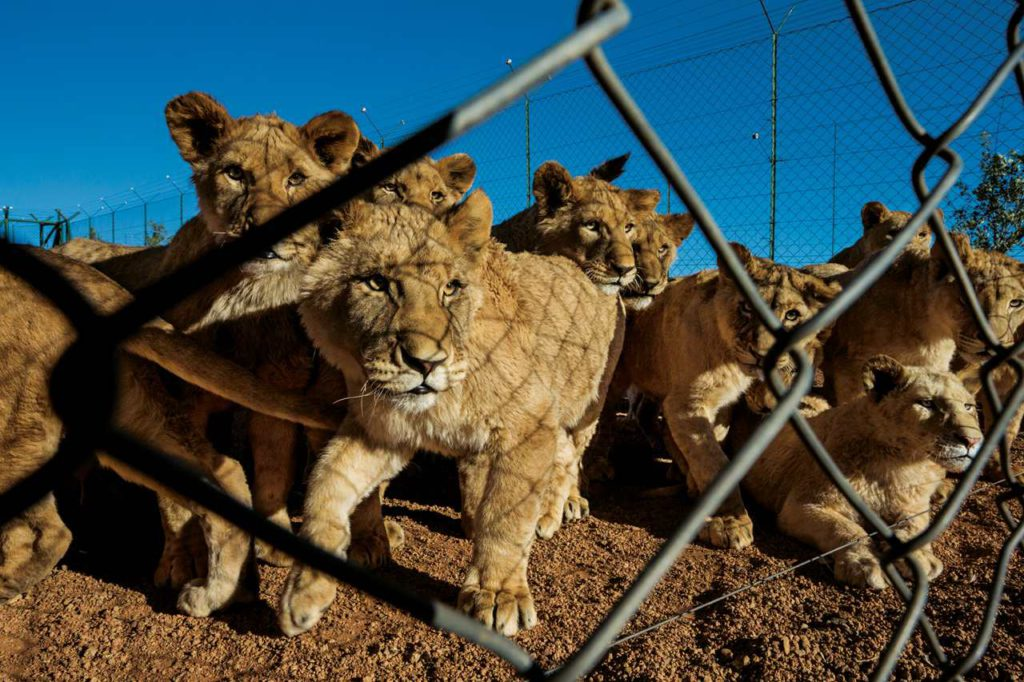 Afrique du Sud: des lions d'élevage, chassés puis vendus pour leurs os