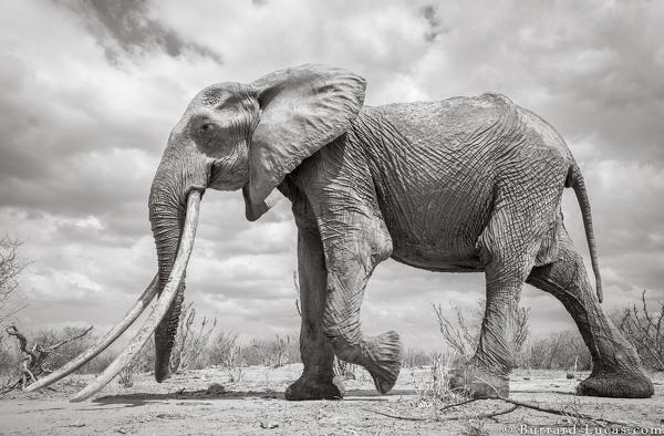 Les dernières photos de la majestueuse «Reine des éléphants»